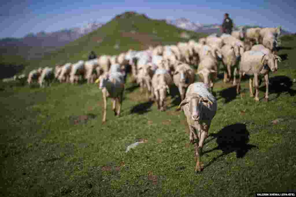 A flock of sheep grazes in a mountain pasture. Sharr cheese is sometimes made from cow's milk. But at an altitude of 1,800 meters, these mountains are too high for dairy cows to graze.