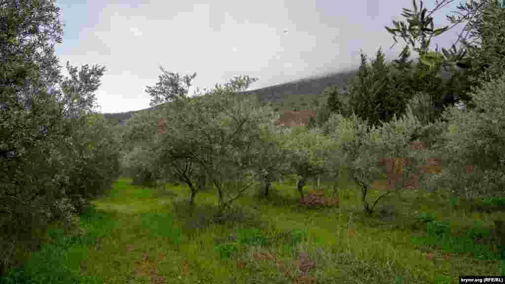 В междурядьях опытной оливковой рощи, что между Аян-Узенью и Аю-Дагом, во весь рост поднялась молодая трава