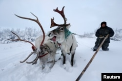 A herder with reindeers in the tundra area of Russia's Nenets autonomous district.