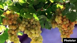 Armenia -- Grapes grown in the Ararat Valley.