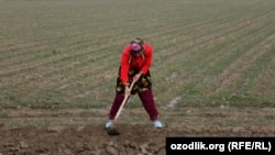 Uzbekistan - a young charwoman is working in the wheat field, 25Mar2012
