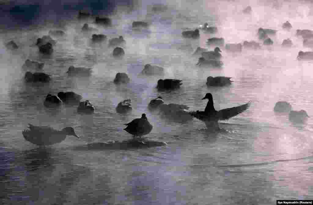 Енисей өзеніндегі жабайы үйректер. Ауа температурасы -30 градусты көрсетіп тұр.