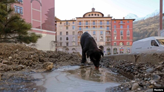 A dog drinks from an icy puddle in Esto Sadok, outside of Sochi. Shelters run by charities in the Sochi region only have enough space for a fraction of the stray population.