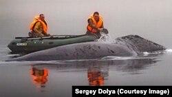 Спасение гренландского кита на Шантарских островах в Охотском море, фото Сергея Доли