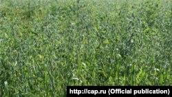 Овсяное поле в Порецком районе Чувашии
