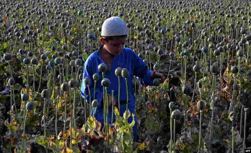 The child of an Afghan farmer harvests opium sap from a poppy field in Nangarhar Province near Jalalabad. Opium poppy cultivation in Afghanistan reached a record high in 2014, a UN report has revealed. (AFP/Noorullah Shirzada)