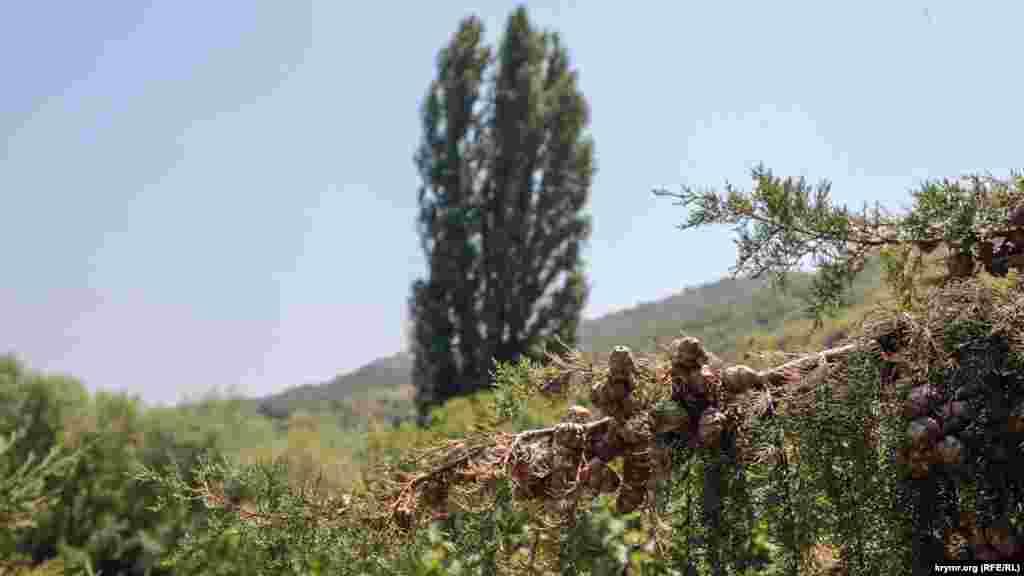 Довкола ростуть кипариси і тополі