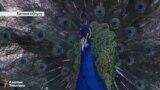 Баткен: Кушканадагы периштелер