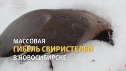 В Новосибирске спасают от гибели захмелевших птиц