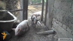 Տավուշում խոզերը հիվանդանում են, հարկադիր մորթը վնաս է հասցրել գյուղացիներին