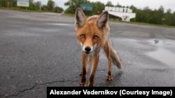 Чернобыльский лис Семен. Живет в городе Припять
