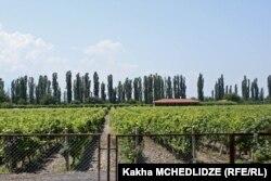 Виноградники Кахетии. Июнь 2014 года