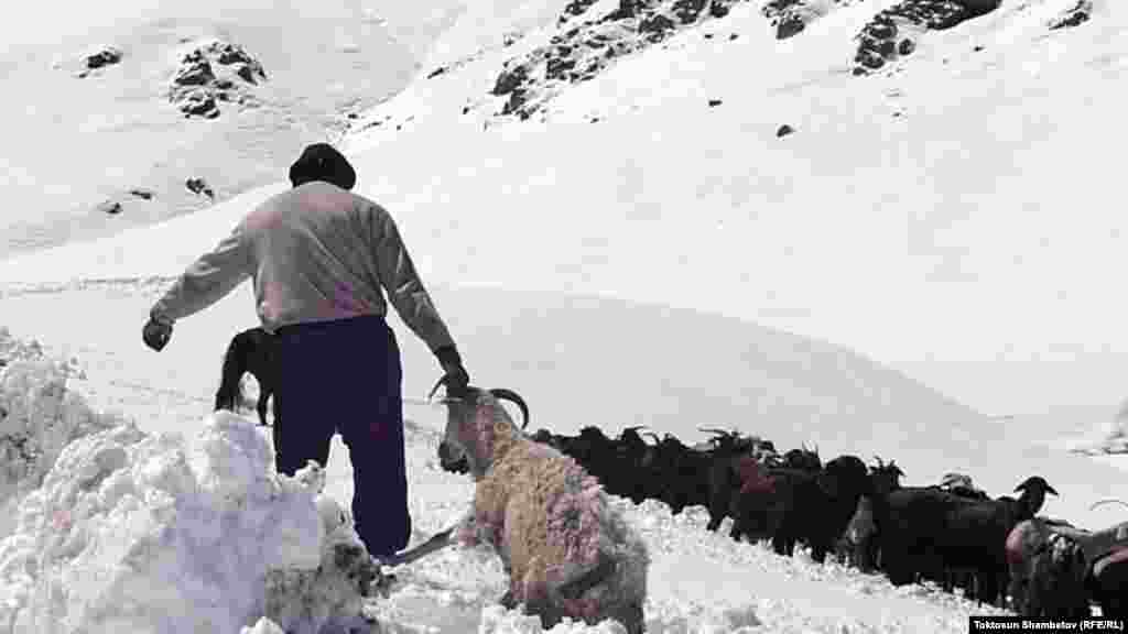 A shepherd struggles to pull a sheep out of a snowbank.