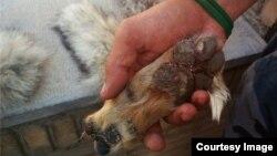 پای بریده شده روبا به وسیله مهران چیلی