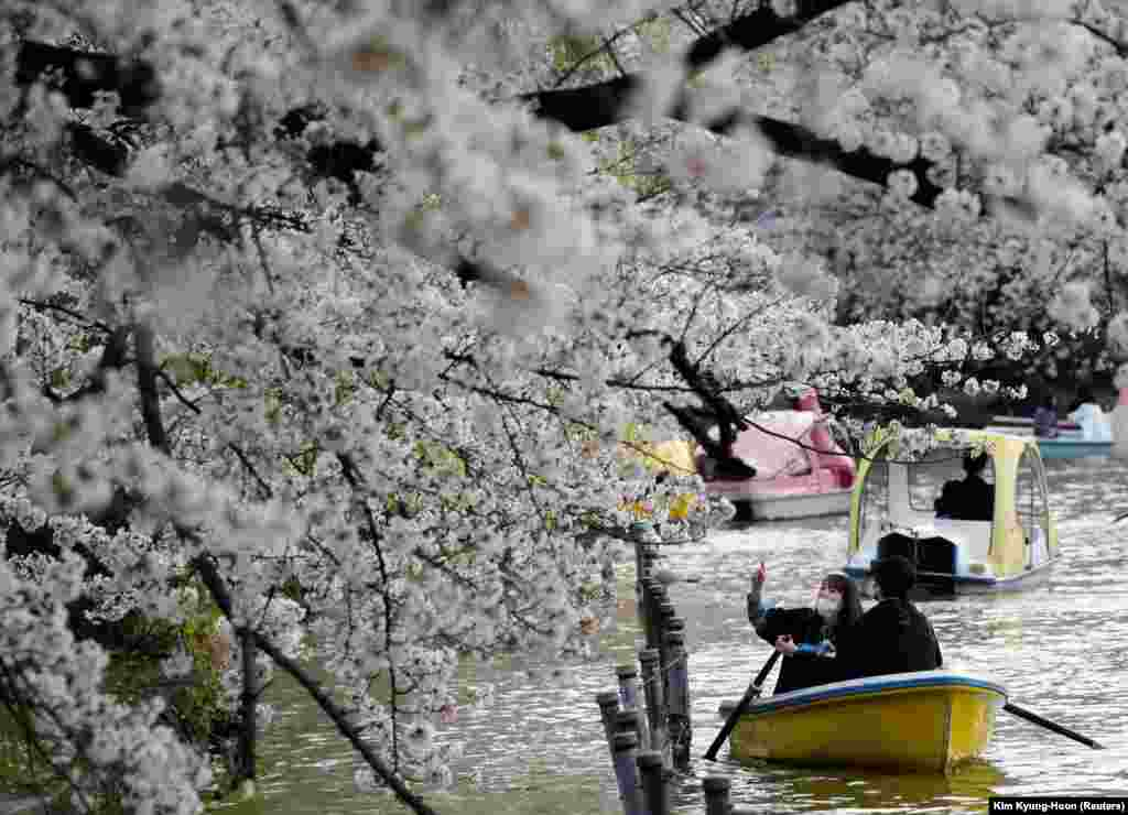 По словам исследователей, в последние десятилетия пик сезона цветения сакур наступает все раньше, вероятно из-за глобального изменения климата