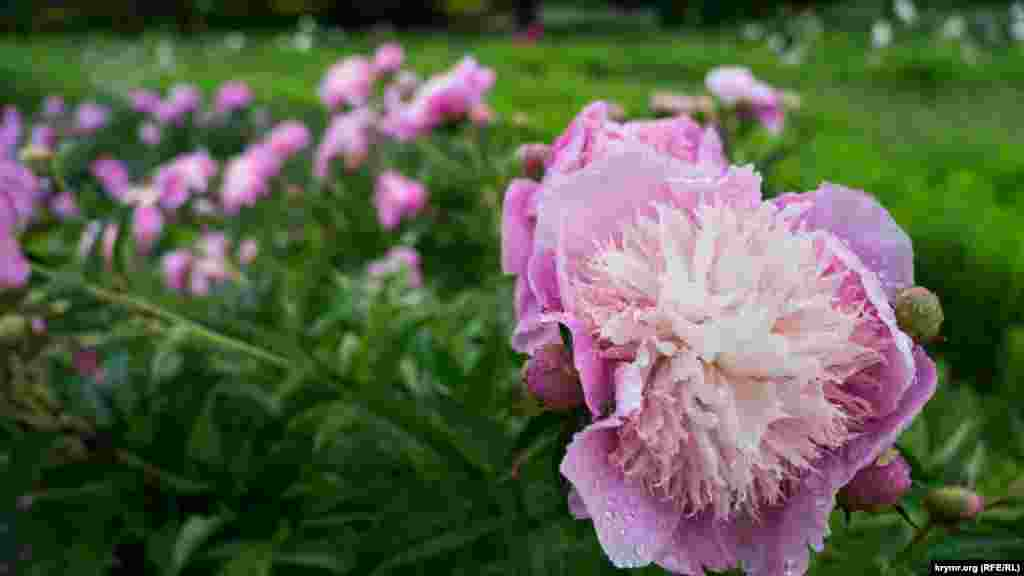 Пионы ботанического сада в Симферополе под дождем