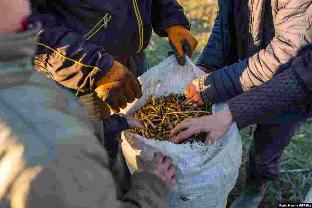 Один сборщик ежедневно собирает до 30 килограммов черемши.
