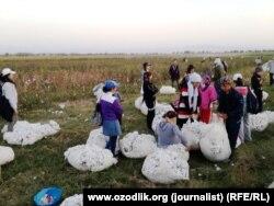 Студенты вузов Узбекистана, каждый год принудительно отправляемые на сбор хлопка
