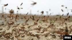 Swarms of desert locusts (Schistocerca gregaria) are posing serious threat to Iran's agriculture. FILE PHOTO
