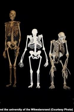 Реконструкция австралопитека седиба (посередине) на основе останков. Для сравнения: слева – некрупный женский скелет современного человека Homo Sapience, справа - скелет обыкновенного шимпанзе Pan troglodytes. Фото: Lee Berger and the university of the Witwatersrand