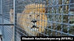 Лев в одном из зоопарков Олега Зубкова