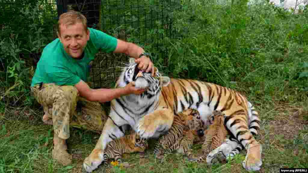 Владелец парка львов «Тайган» Олег Зубков с амурской тигрицой Василисой и новорожденными тигрятами, 8 июля 2017 года
