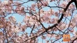 Токио празднует цветение сакуры