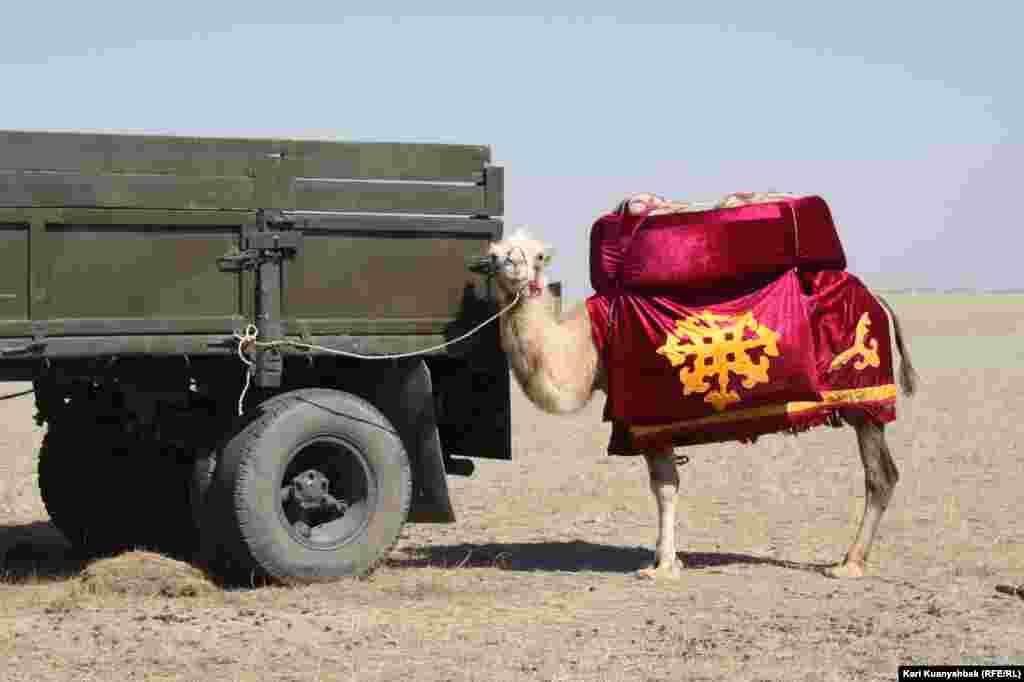 Верблюд в праздничной упряжи в Жидебае.