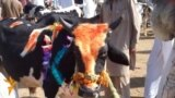 Bargain-Hunting For Goats And Cows In Peshawar