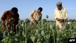 Owganystan: Neşekeşleriň sany artýar