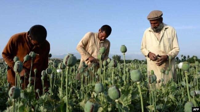 Маковая плантация в Афганистане
