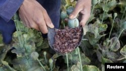 Afghanistan -- Raw opium from a poppy head is seen at a poppy farmer's field in Jalalabad province, 05May2012