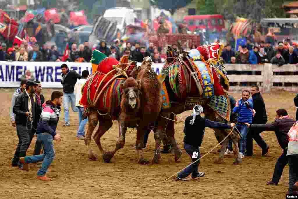 Многие владельцы учат своих верблюдов использовать шеи в качестве рычага-усилителей, при помощи которых они валят своих соперников на землю. Согласно правилам верблюжьих боев, победителем признается тот верблюд, который завалит своего соперника