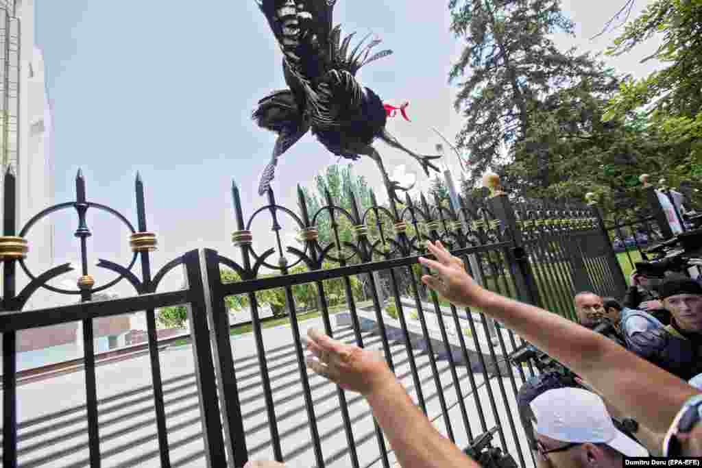 A man throws a turkey over the fence of the Moldovan presidential building as a sign of contempt for the president during a protest by Democratic Party supporters in Chisinau on June 9. (epa-EFE/Dumitru Doru)
