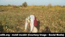 Өзбекстандағы мақта терімі. (Көрнекі сурет)
