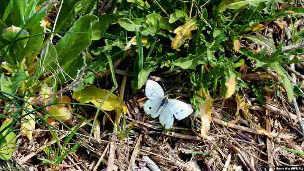 Метелик-капустниця прилетів поласувати нектаром