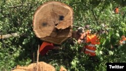 """Вырубка деревьев в парке """"Кусково"""""""