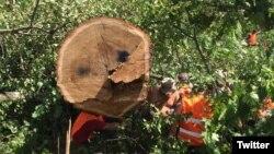 Вырубка деревьев в парке Кусково