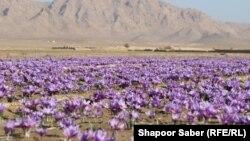آرشیف، کشتزار زعفران در ولایت هرات