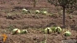 Կարկուտի պատճառով գյուղացիները բերքի զգալի մասը կորցրել են