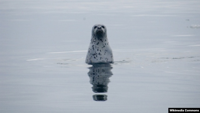 A spotted seal in Russian waters (photo by M. Cameron for the U.S. National Oceanic and Atmospheric Administration)