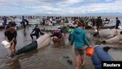 Volonteri pomažu nasukanim kitovima, Novi Zeland
