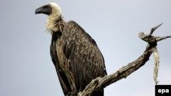 Стервятник в национальном парке Масаи-Мара