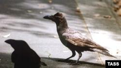 «У врановых — как и у приматов — имеют место эгалитарные отношения, способствующие большему развитию»