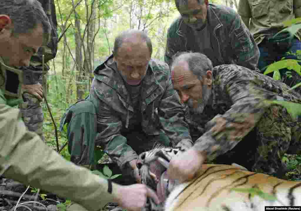 """A híres/hírhedt """"tigrisvadászat"""" során készült kép. 2008-ban egy, a semmiből előtört tigrist sikerült Putyinnak szempillantás alatt nyugtatólövedékkel elkábítania, és aztán még a nyomkövetőt is segített felerősíteni az állat nyaka köré."""