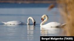 Лебеди. Иллюстративное фото