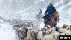 Казахские пастухи, перегоняющие овец в Или-Казахском округе Синьцзяна. 15 марта 2015 года.