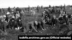 Збір мерзлої картоплі на полі колгоспу імені Д.Бєдного село Удачне Гришинського району Донецької області, 1933 рік
