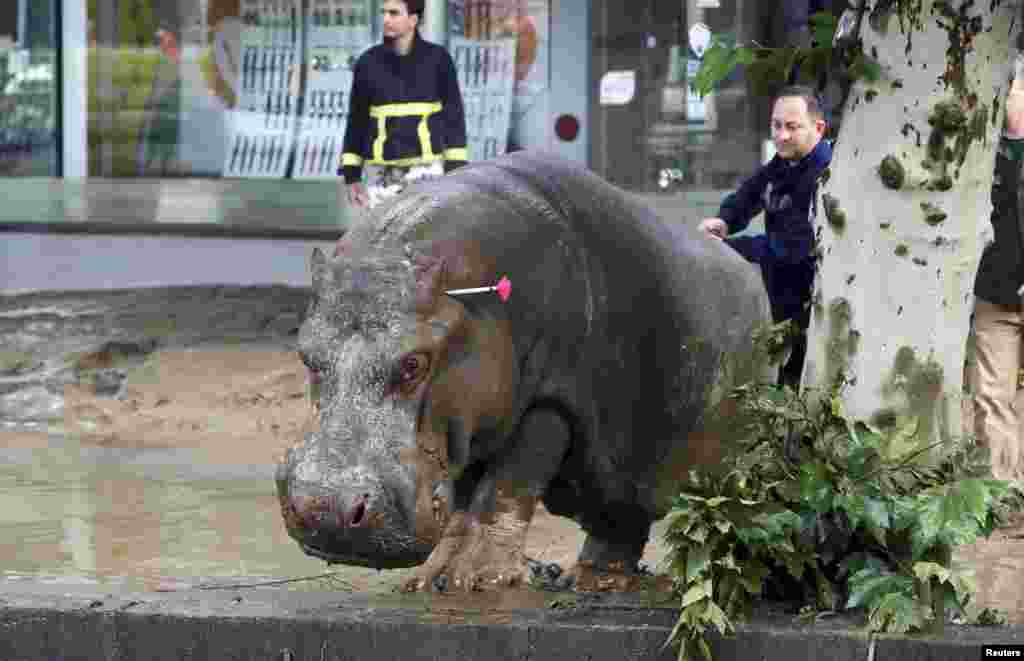 A man directs the hippo after it was shot with a tranquilizer dart. Reuters/Beso Gulashvili)