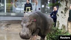 Наводнение в Тбилиси - сбежавший из зоопарка бегемот